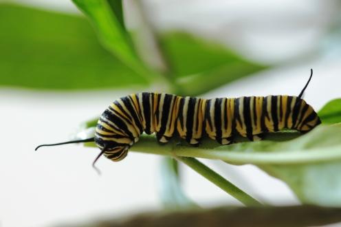 Oruga de Monarca ( Danaus flexipus)