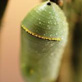 Crisálida de Mariposas Monarca
